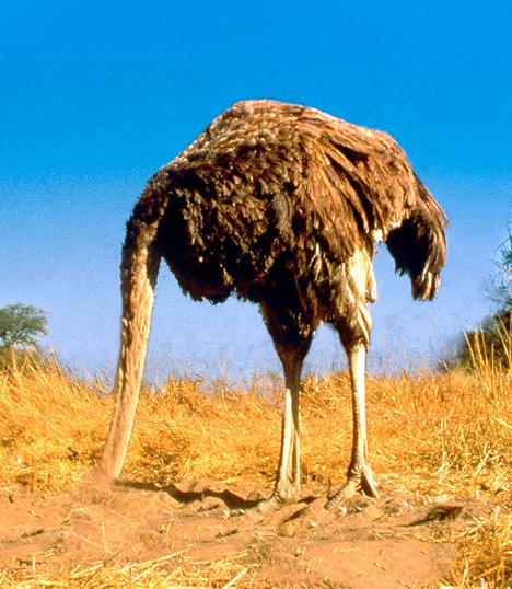 ostrich_head_in_sand